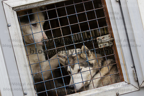 Dogs sit in their kennel during the FISTC Dog Cart European Championships in Venek (about 136 km Norht-West of capital city Budapest), Hungary on November 22, 2014. ATTILA VOLGYI