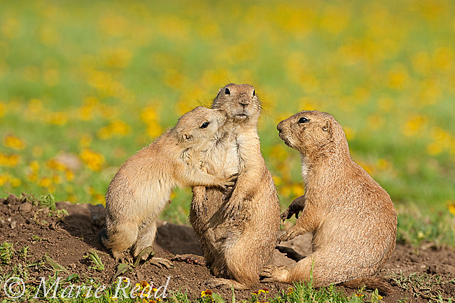 Black-tailed Prairie Dogs (Cynomys ludovicianus), family group of three (2 adults, 1 young) interacting outside their burrow, Wichita Mountains National Wildlife Refuge, Oklahoma, USA