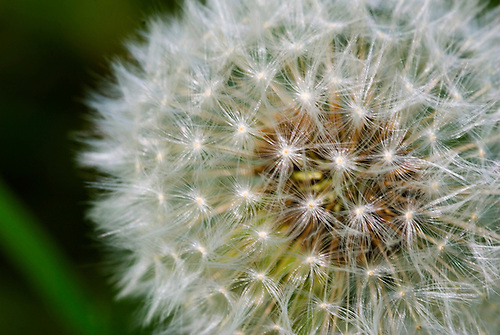 Some dandelion seed shot with a macro lens