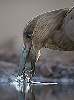 Hammerkops visited the hide at Zimanga a few times.  Here, one prepares to eat a water bug.