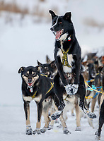 "Jeff King's leader ""Swenson"" is still ready to run as Jeff checks in to the checkpoint at Iditarod on Thursday, March 8th during the 2018 Iditarod Sled Dog Race -- Alaska  (modified from original for client)<br /> <br /> Photo by Jeff Schultz/SchultzPhoto.com  (C) 2018  ALL RIGHTS RESERVED"
