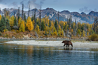 Grizzly bear walks on shore at Crescent River. Lake Clark National Park. Fall/autumn  Southcentral, Alaska<br /> <br /> Photo by Jeff Schultz/SchultzPhoto.com  (C) 2018  ALL RIGHTS RESERVED<br /> <br /> 2018 Bears, Glaciers and Fall Colors Photo tour/workshop