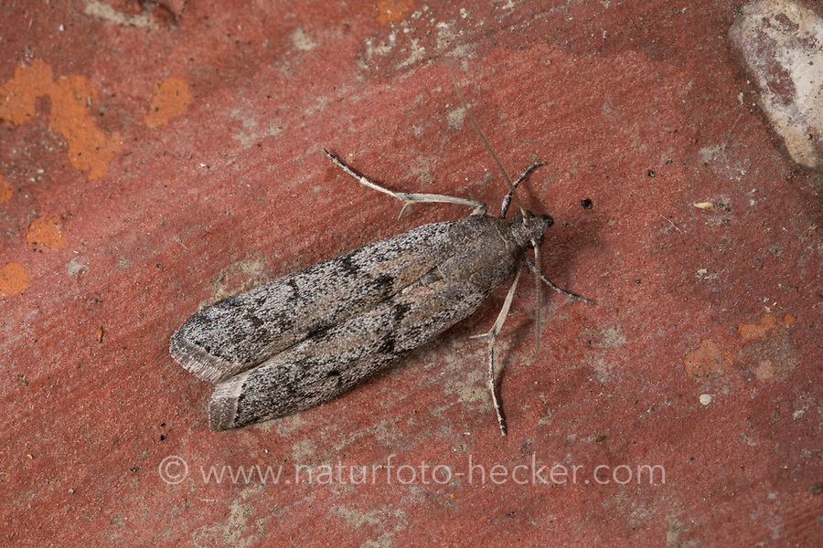 Dörrobst-Motte, Dörrobstmotte, Vitula edmandsii, Vitula edmandsae, Vitula dentosella, Vitula serratilineella, Nephopteryx edmandsii, Moodna bombylicolella, American wax moth, dried-fruit moth, dried fruit moth, Vorratsschädling, Zünsler, Pyralidae