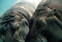 Big hippopotami together