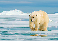 Polar bear (Ursus maritimus) female running on ice floe, Svalbard, Norwegian Arctic, Norway, Europe