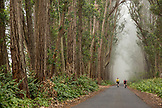 USA, Hawaii, The Big Island, mountain biking through iron wood trees on mud lane from road 19 down to road 240, journalist Daniel Duane and Chef Seamus Mullen