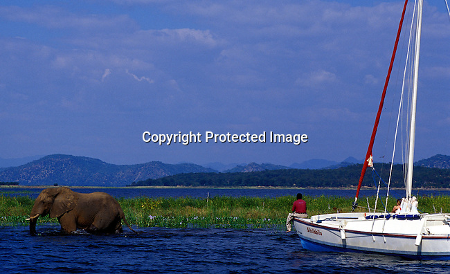 dicozim00260.African Country Zimbabwe. A Kariba elephant walking the water as a sailing boat with tourists on April 15, 2003 on Lake Kariba, a lake in Zimbabwe. Wildlife, elephant, transport, boat, lifestyle, leisure, tourism. .©Per-Anders Pettersson/ iAfrika Photos.