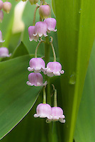 Pink Lily of the Valley in flower, Convallaria majalis var. rosea