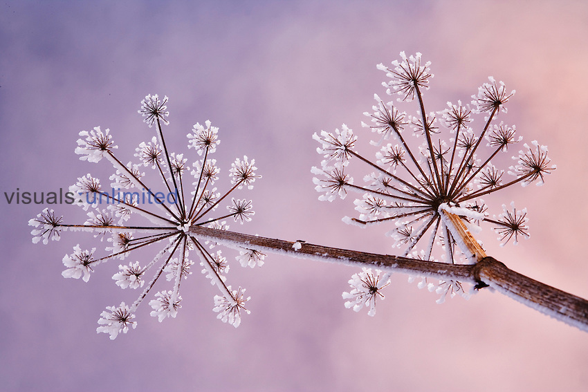 Skyward view of frost-covered Cow Parsnip in winter ,Heracleum lanatum, Alaska, USA.