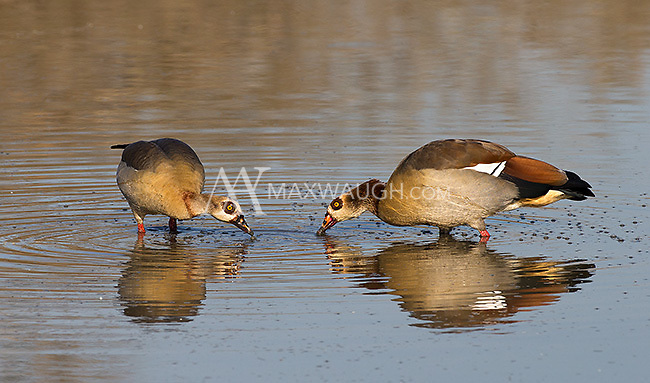 Egyptian geese are commonly seen near ponds, rivers and streams in southern Africa.