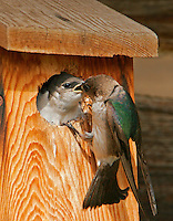 Adult female violet-green swallow feeding baby