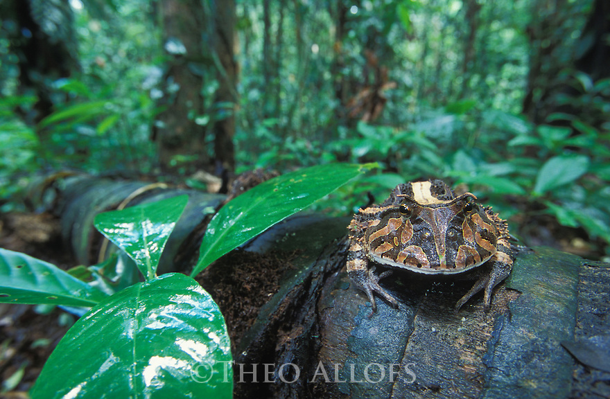 Amazonian horned frog (Ceratophrys cornuta) on leaf on dead palm trunk in tropical rainforest, Peru, Tambopata River