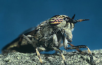 Black-horned Cleg - Haematopota crassicornis