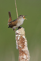 Adult Marsh Wren (Cistothorus palustris) singing. Snohomish County, Washington. April.
