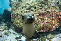 QT7314-D. California Sea Lion (Zalophus californianus), curious pup. Baja, Mexico, Sea of Cortez, Pacific Ocean.<br /> Photo Copyright &copy; Brandon Cole. All rights reserved worldwide.  www.brandoncole.com