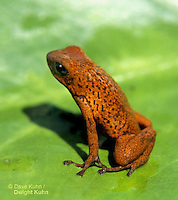 FR24-001z  Strawberry Arrow Frog - Costa Rica - Dendrobates pumilio - ©David Kuhn/Dwight Kuhn Photography