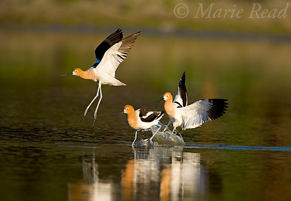 American Avocets (Recurvirostra americana), three adults during a territorial chase, Orange County, California, USA