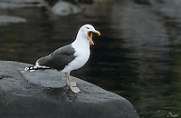 Mantelmöwe, rufend, schreiend, Mantel-Möwe, Möwe, Mantelmöve, Larus marinus, great black-backed gull