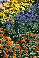 Rudbeckia, Zinnia Profusion Orange, Salvia farinacea, Mixed Annual flowers garden