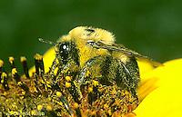 BU06-022a  Bumblebee - on sunflower - Bombus griseocollis
