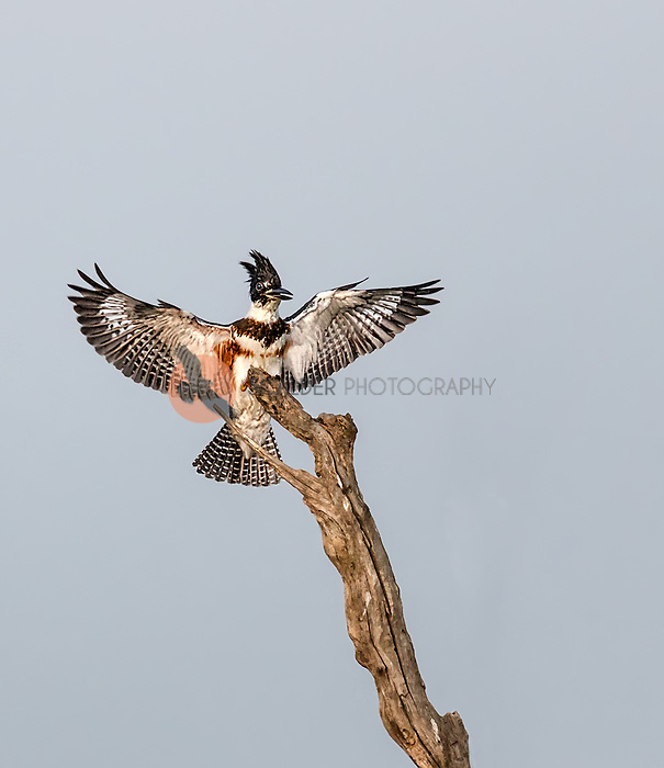 Belted Kingfisher landing on bare tree with wings out