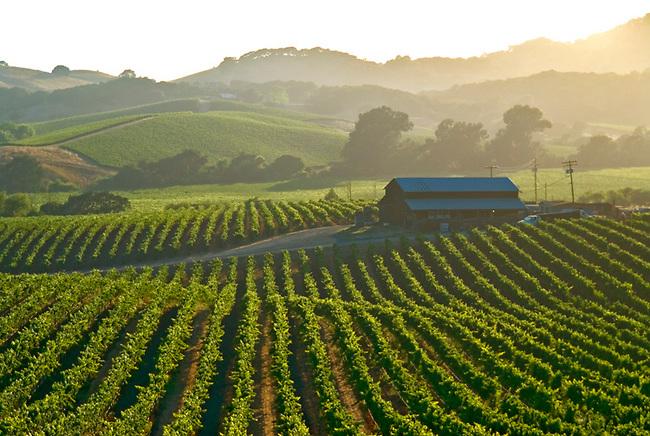 Vineyards in Carneros region of southern Napa Valley