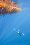 San Diego, California; a freediver is spearfishing beneath a giant kelp paddy in the Pacific Ocean