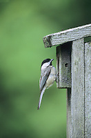 Black capped Chickadee, at a nestbox, New Jersey