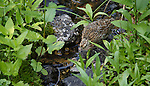 Young spruce grouse feeding along a tiny mountain stream in the Bob Marshall Wilderness in Montana