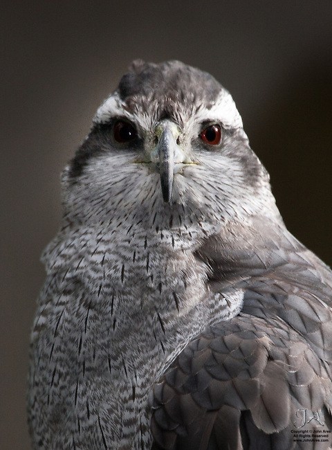 Goshawk Portrait taken in a zoo.  Great Red Eyes.