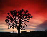Joshua Tree silhouetted at sunset, Joshua Tree National Park, California