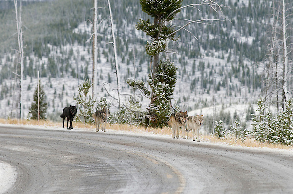 Wild GRAY WOLVES (Canis lupus) traveling along road.  Greater Yellowstone Ecological Area.  Fall.