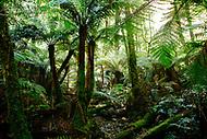Image Ref: YR178<br /> Location: Wirrawilla Rainforest, Toolangi<br /> Date: 27.01.18