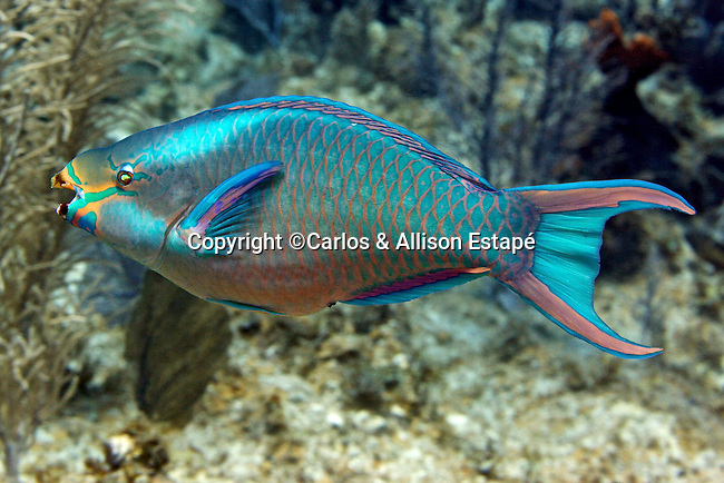 Scarus vetula, Queen parrotfish, Grand_Cayman