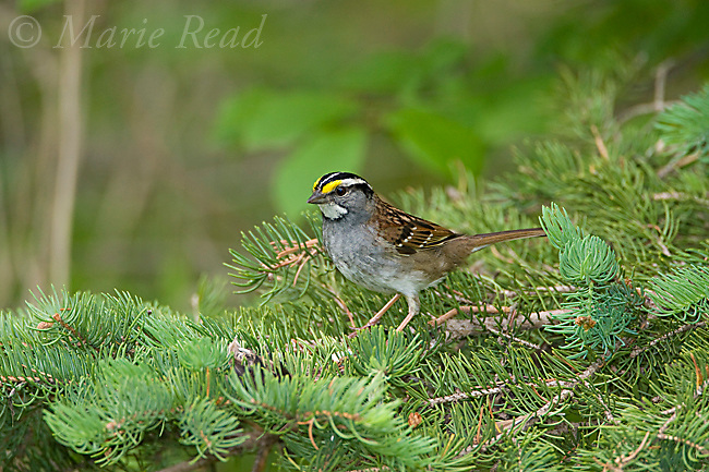White-throated Sparrow (Zonotrichia albicollis), Summer Hill State Forest, Cortland County, New York, USA