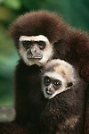Lar gibbon and infant. (captive)