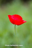 63821-22907 Red Poppy (Papaver rhoeas 'Legion of Honor'), Cantigny Park, Wheaton, IL
