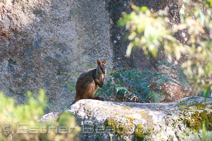 Brush-tailed Rock Wallaby (Petrogale penicillata) male, granite outcrop. Southeastern Australia. Threatened species