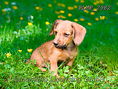 Marek, ANIMALS, REALISTISCHE TIERE, ANIMALES REALISTICOS, dogs, photos+++++,PLMP2982,#a#, EVERYDAY
