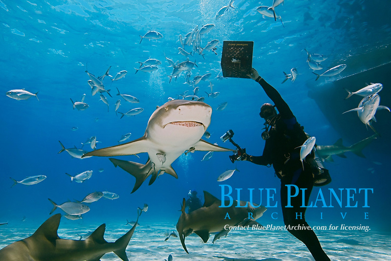 Scuba diver with shark baits, Lemon Sharks, Negaprion brevirostris, with sharksuckers, Echeneis naucrates, and Blue Runner jacks, Caranx crysos, West End, Grand Bahama, Bahamas, Caribbean, Atlantic Ocean