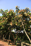 Israel, Carmel Coastal Plain. Inga Vera tree at Bustan Hacarmel tropical tree garden