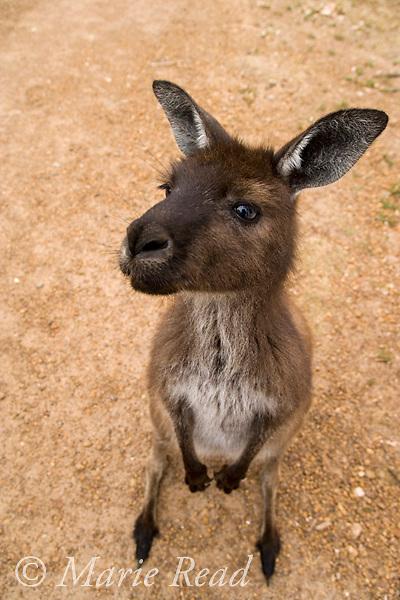 Kangaroo Island Kangaroo (Macropus fuliginosus fuliginosus), a subspecies of the Western Grey Kangaroo, Flinders Chase National Park, Kangaroo island, Australia.