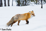 Red fox in snowfall. Grand Teton National Park, Wyoming.