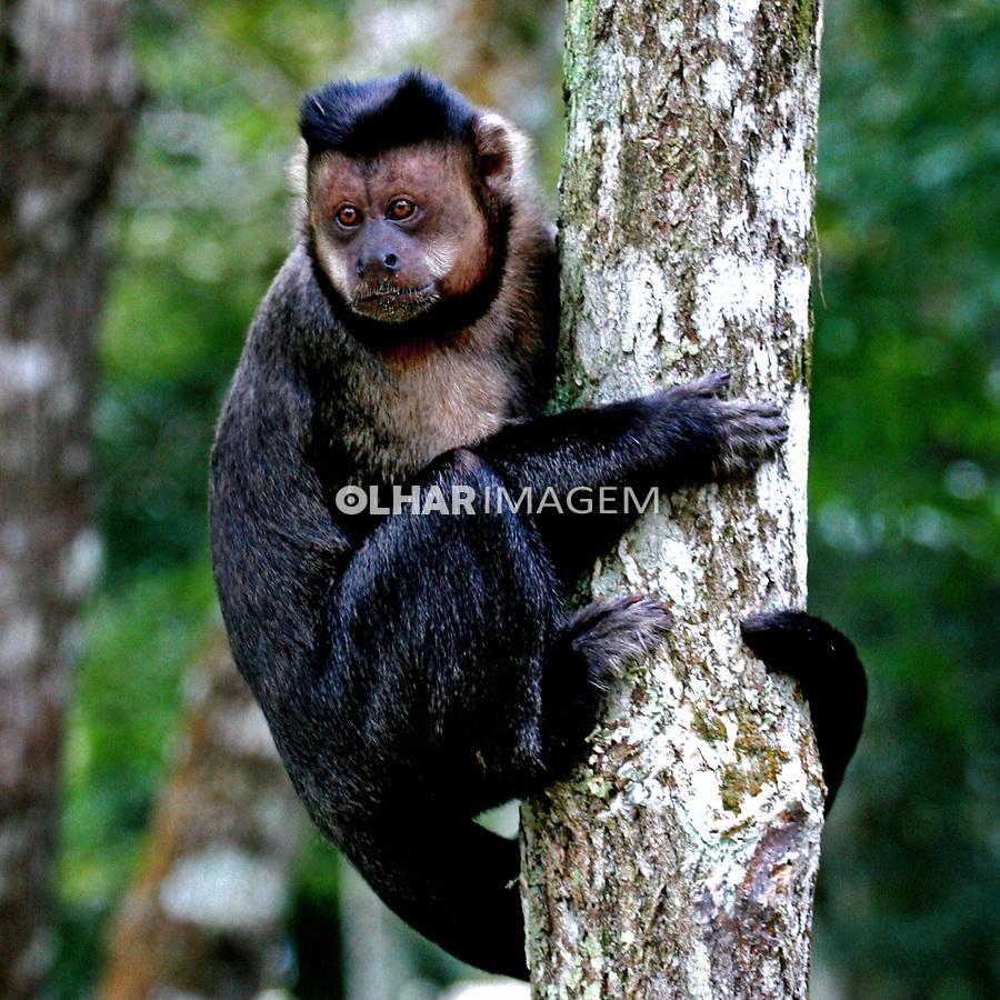 Animais. Mamiferos. Macaco Prego do Peito Amarelo (Cebus apella xanthosternos) na Floresta da Tijuca. RJ. Foto Juca Martins
