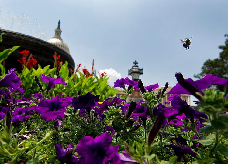 WASHINGTON, DC - July 05: A bumble bee flies among the petunias around the bronze fountain basin designed by landscape architect Frederick Law Olmsted on the East Front of the U.S. Captiol. (Photo by Scott J. Ferrell/Congressional Quarterly)