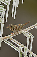 Lincoln's Sparrow (Melospiza lincolnii), adult perched on icy branch, Hill Country, Texas, USA