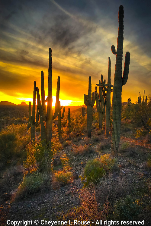Sunset Sentinels - Arizona - Saguaro Cactus at sunset