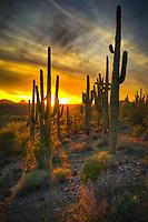 Sunset Sentinels - Arizona - Saguaro Cactus at sunset