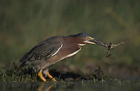 Green Heron, Butorides virescens,adult eating Leopard Frog, Lake Corpus Christi, Texas, USA, May 2003