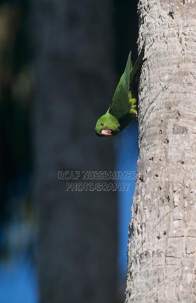 Green Parakeet, Aratinga holochlora,adult on palm tree, Brownsville, Rio Grande Valley, Texas, USA, April 2001